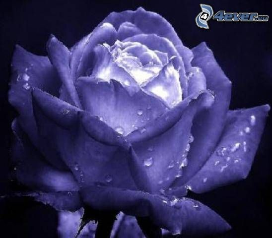 dew rose, purple
