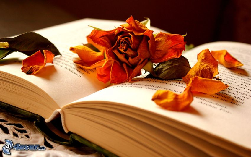 dry flower, book, rose