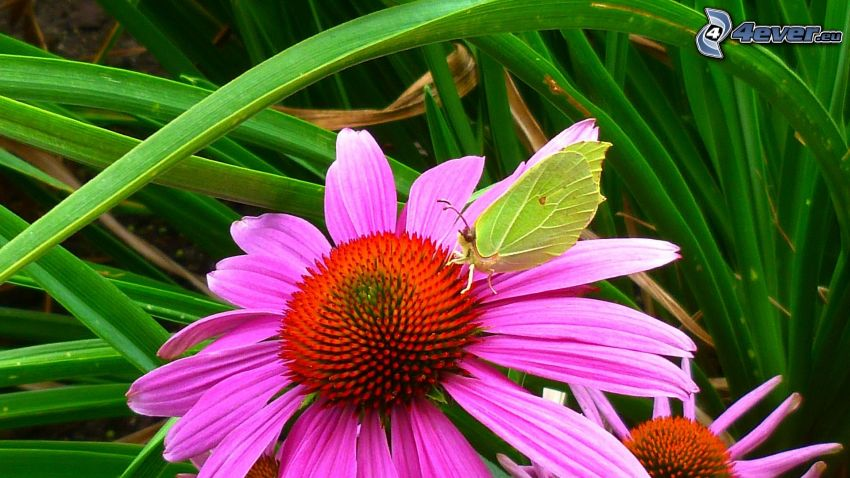 Echinacea, butterfly, blades of grass