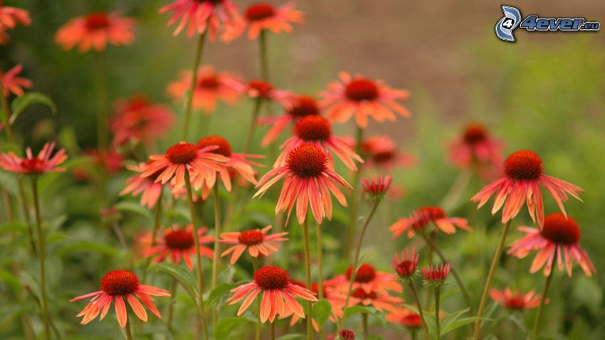 Echinacea, orange flowers