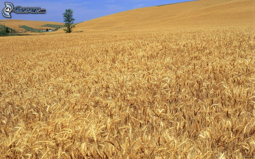field, barley