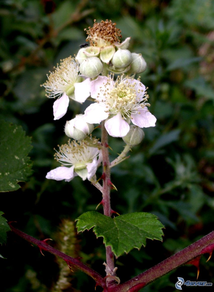 flower, blackberry