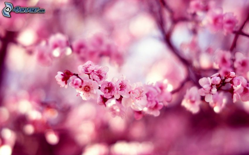 flowering cherry, flowery branch, pink flowers