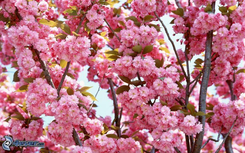 flowering cherry, pink flowers