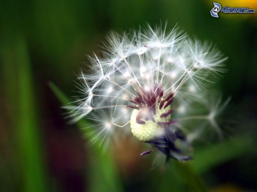 flowering dandelion, greenery