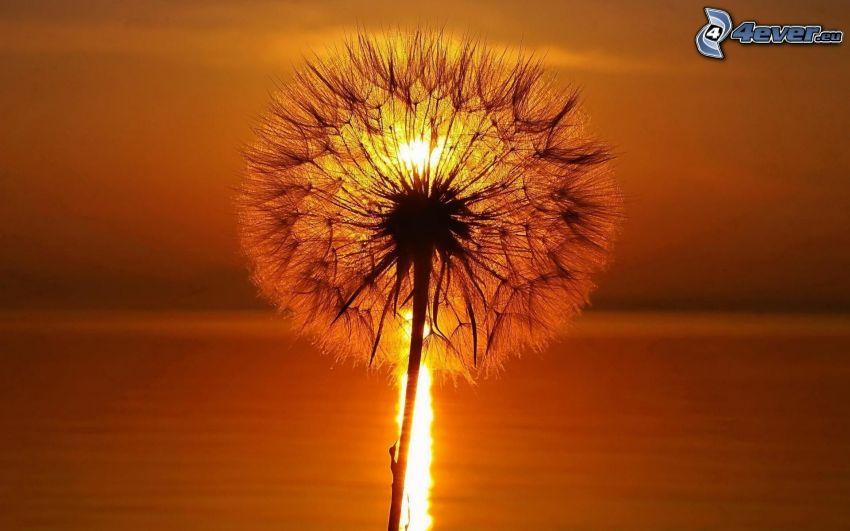 flowering dandelion, sunset over the sea