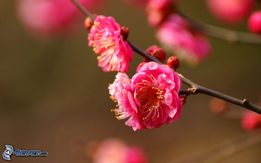 flowering twig, pink flowers