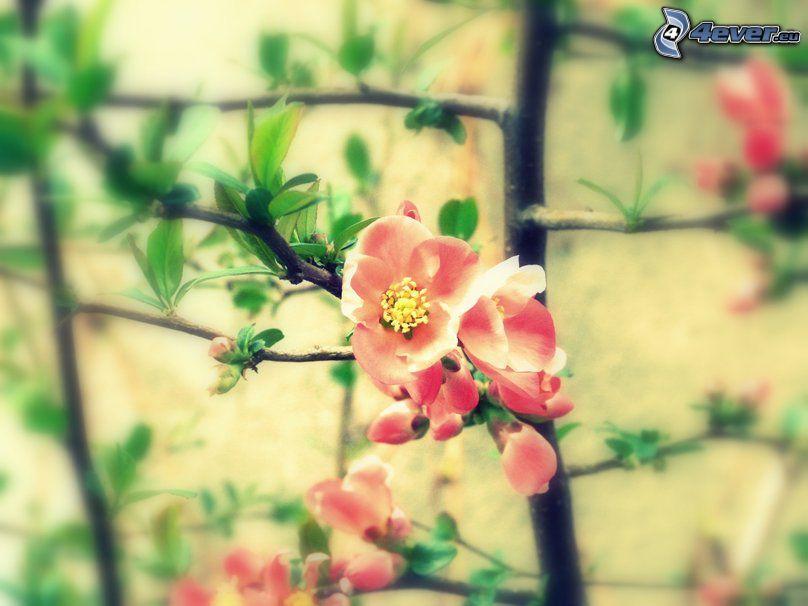 flowering twig, pink flowers