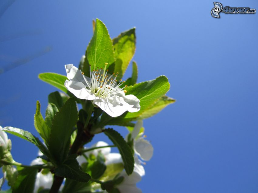 flowering twig, white flower, blue sky
