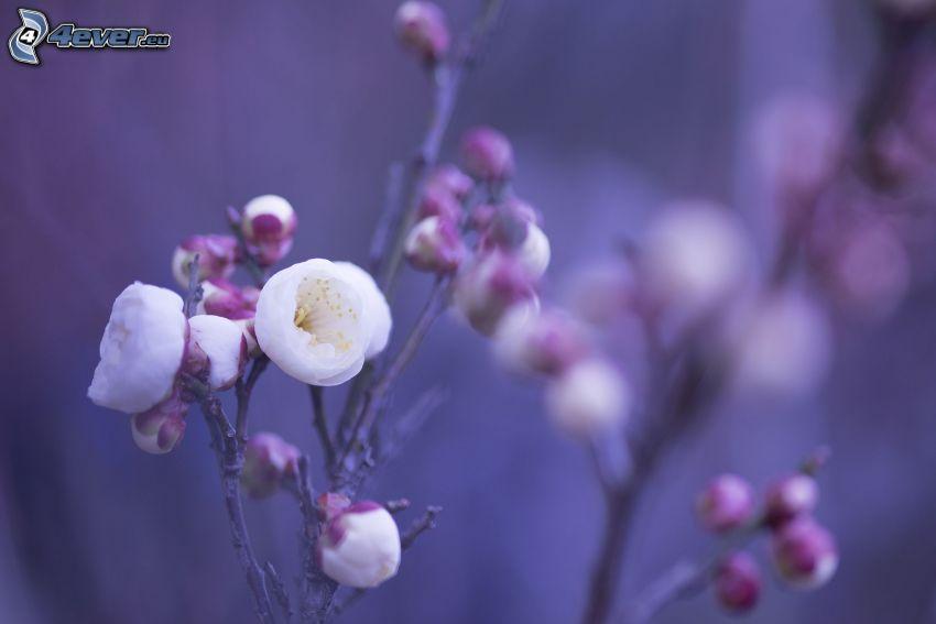 flowering twig, white flowers