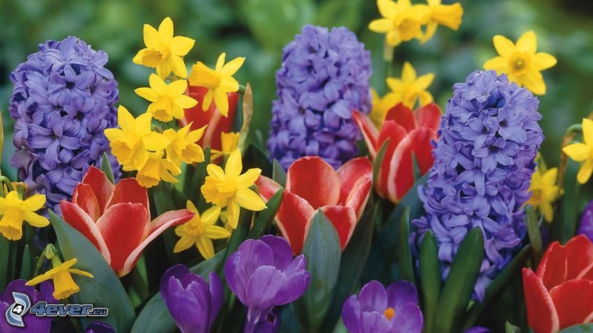 flowers, daffodils, saffrons, tulips
