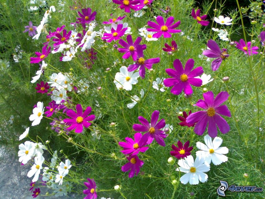 flowers, purple flowers, white flowers