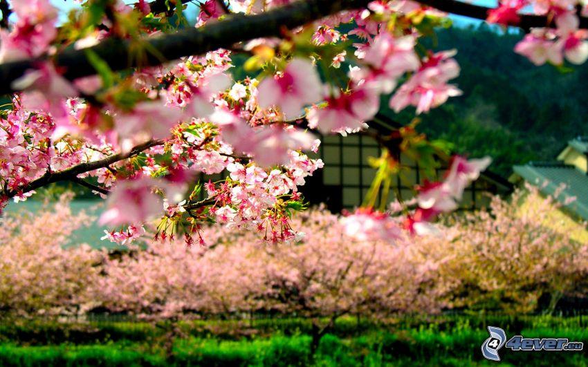 flowery branch, pink flowers