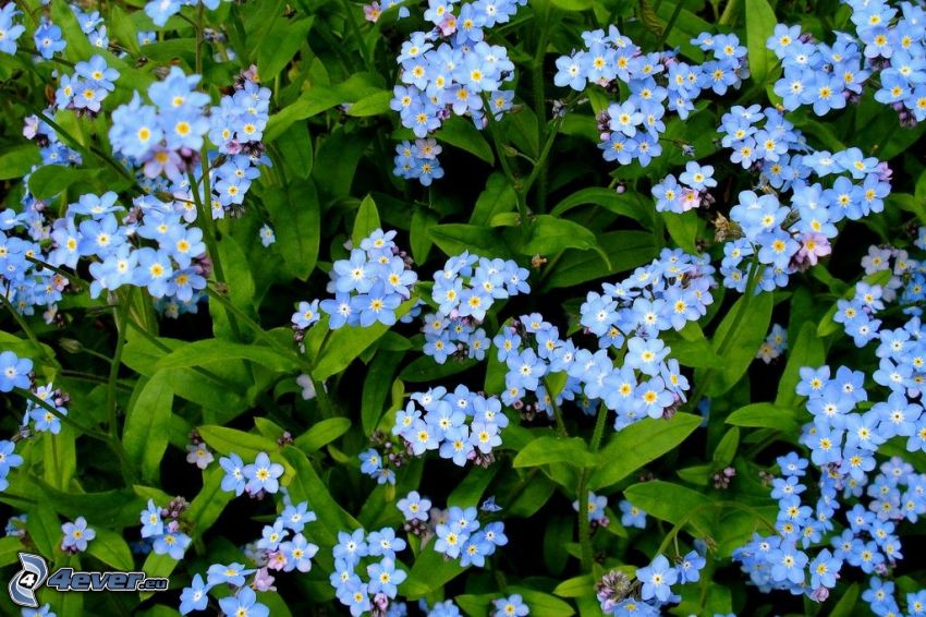 forget-me-nots, blue flowers, green leaves