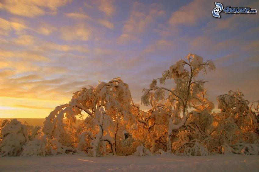 frozen trees, snow