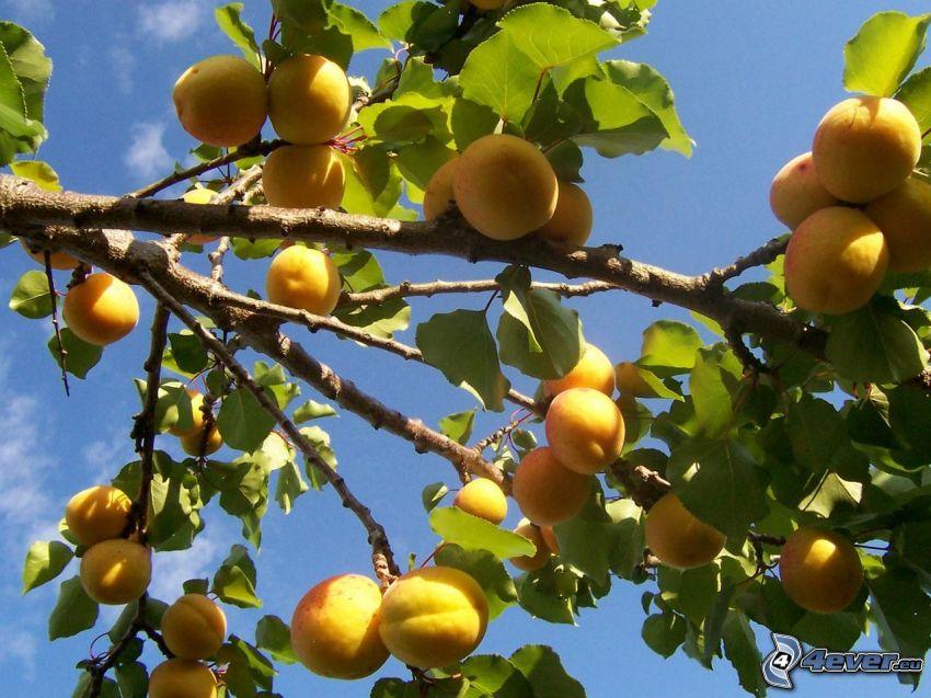 apricots, apricot tree