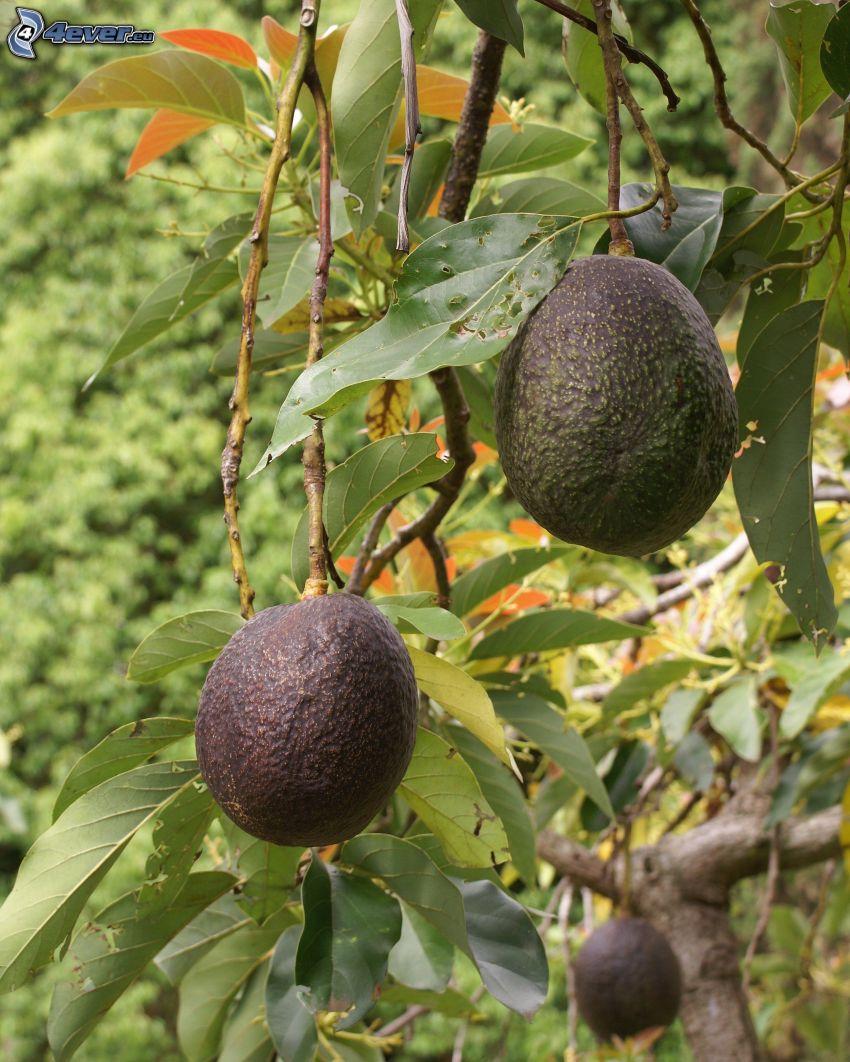 avocado, tree