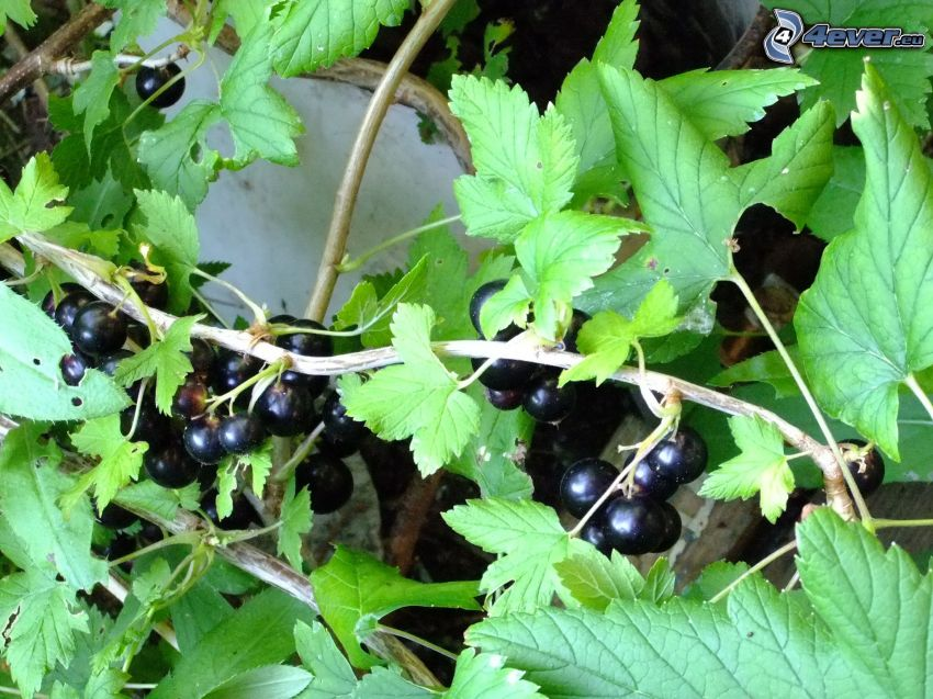 blackcurrants, green leaf