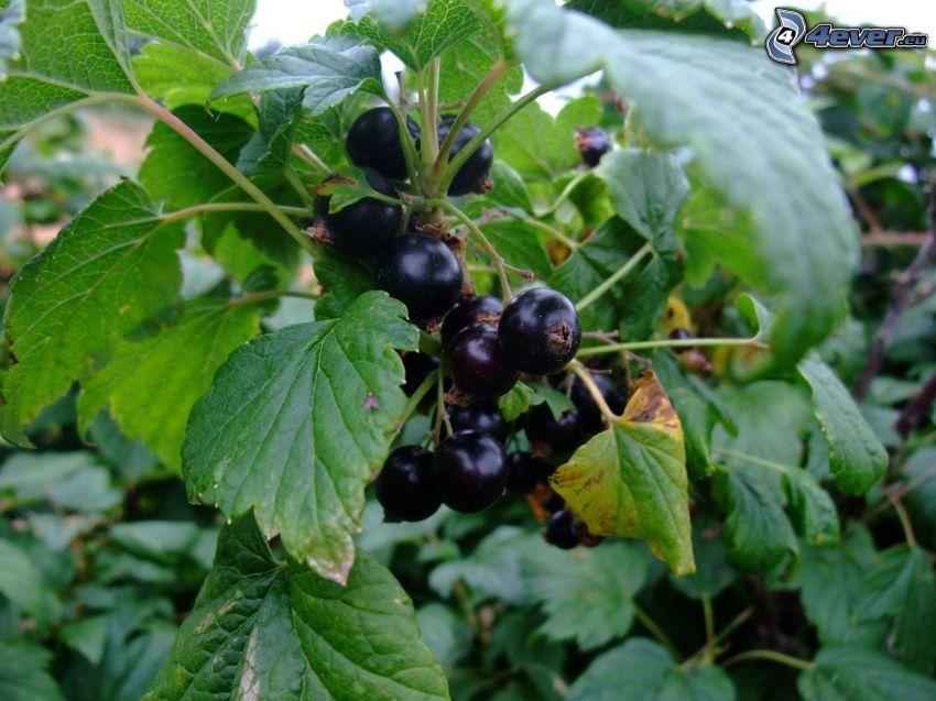 blackcurrants, green leaves
