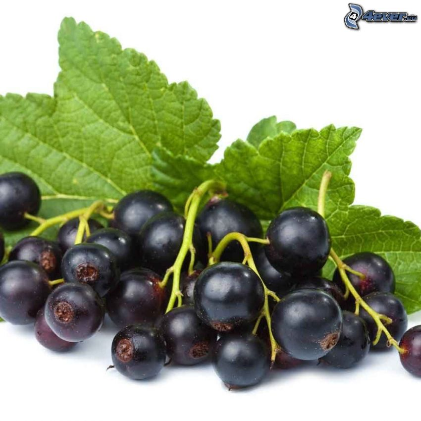 blackcurrants, leaves