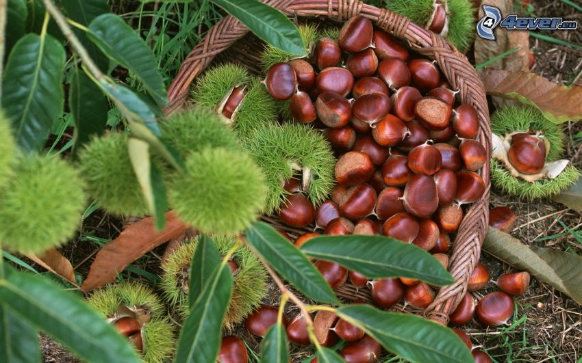 chestnuts, twig, basket