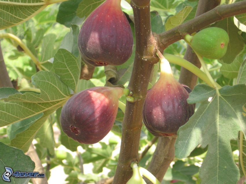 figs, branch, green leaves