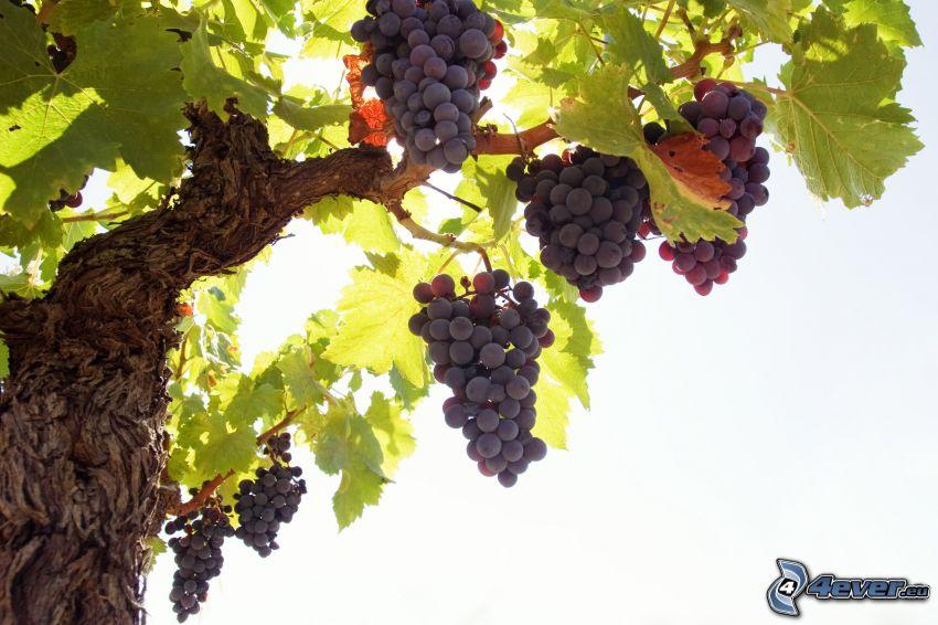 grapes, grape leaves