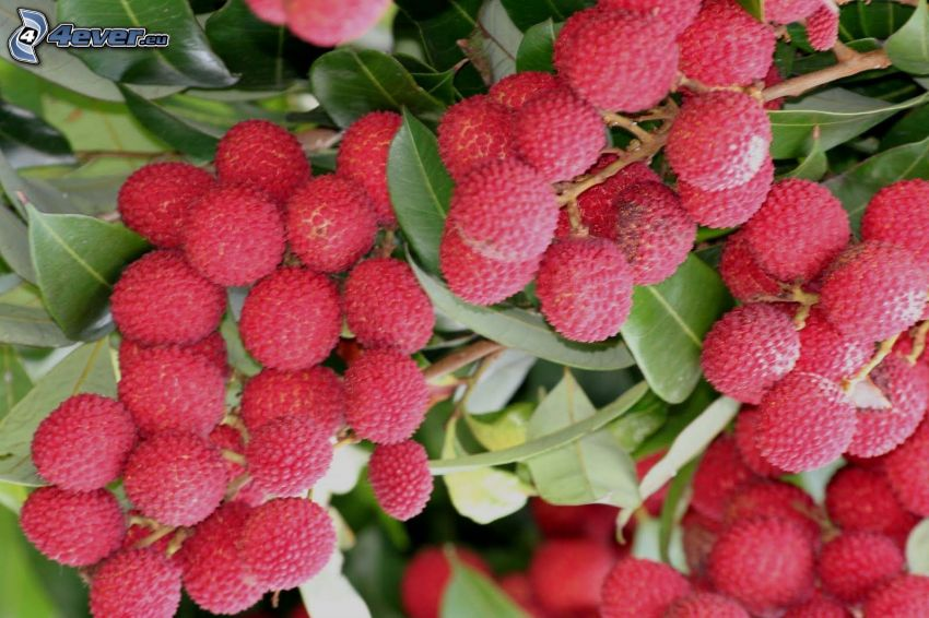 lychees, green leaves on a branch