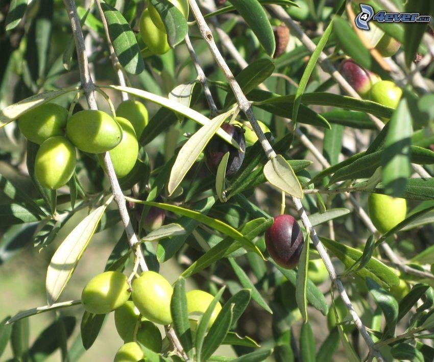 olives, tree