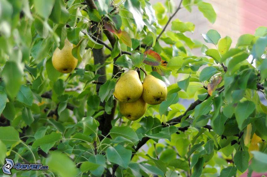 pears, tree, green leaves