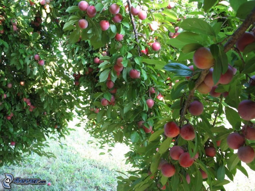 plums, branches