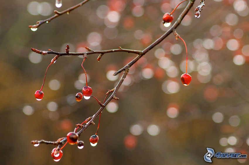 twig, fruits, drops of water