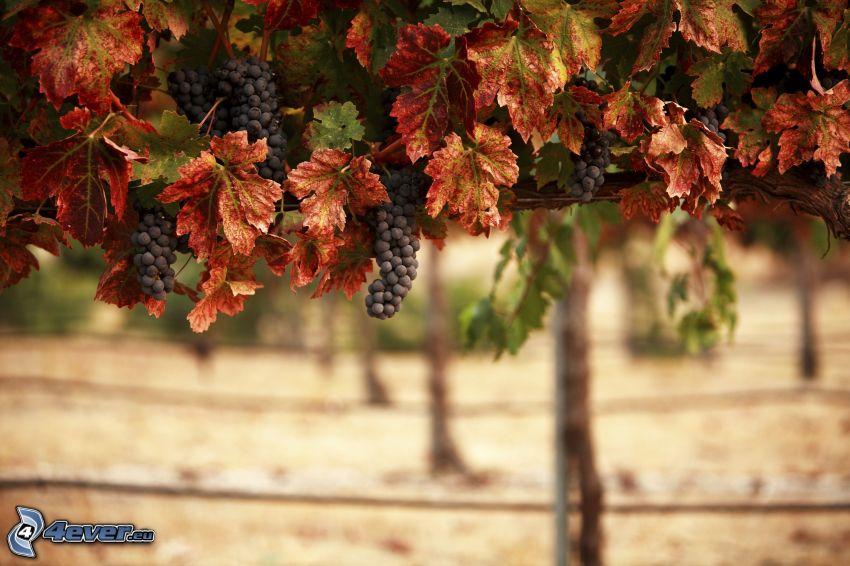 vineyard, grapes