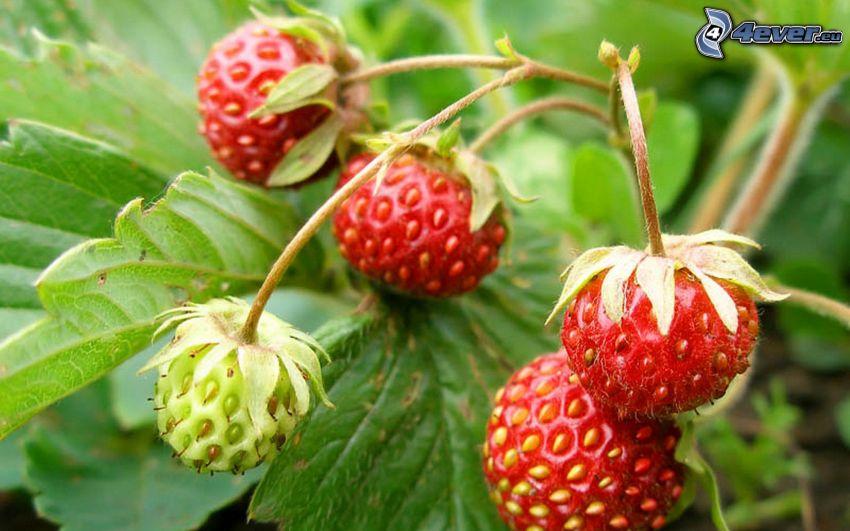 wild strawberries, green leaves