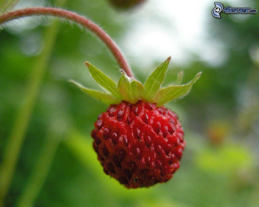 wild strawberry, stem, macro