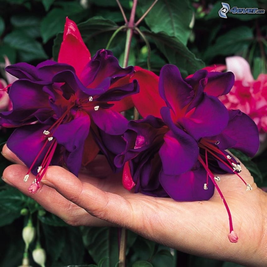 Fuchsia, purple flowers, hand