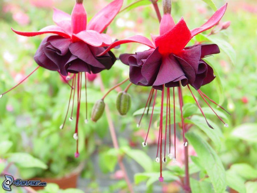Fuchsia, purple flowers
