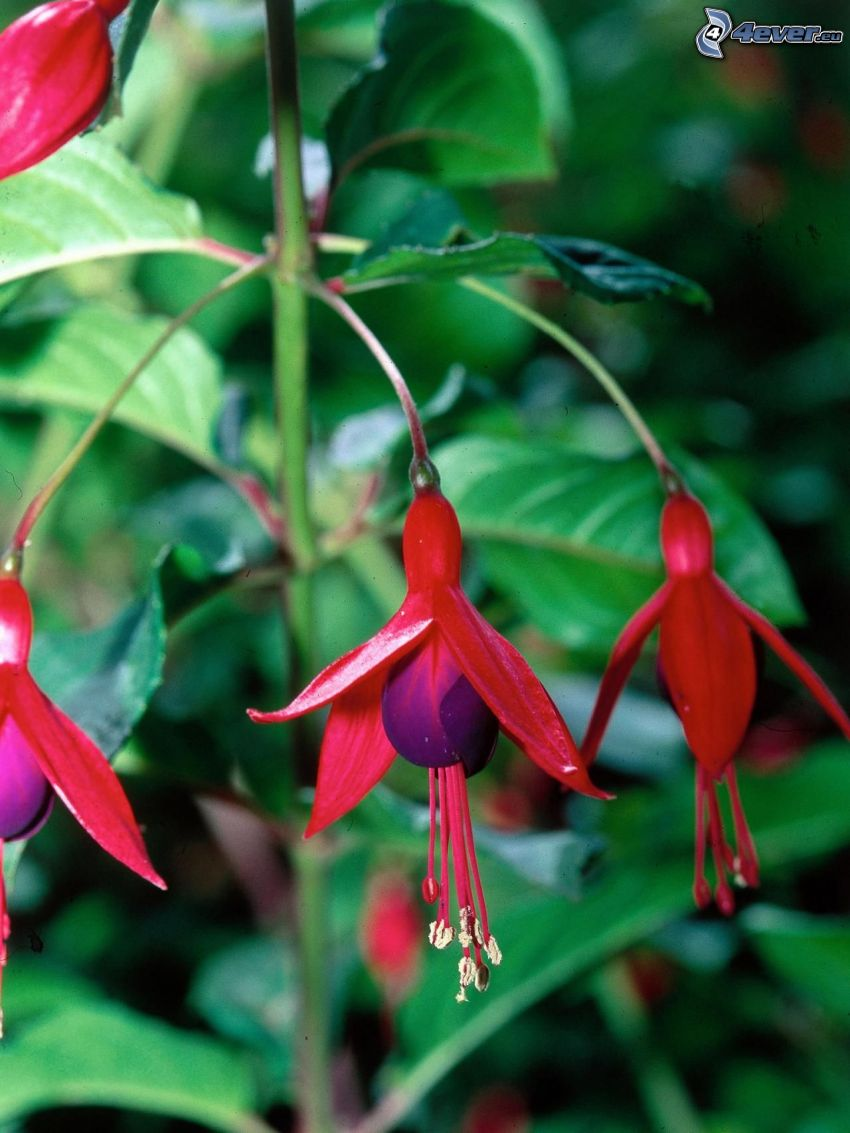 Fuchsia, red flowers, green leaves