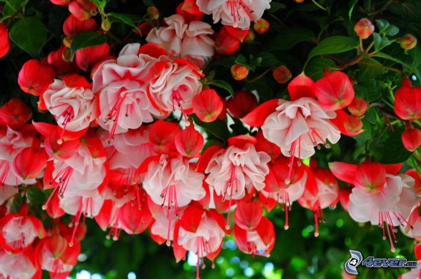 Fuchsia, red flowers