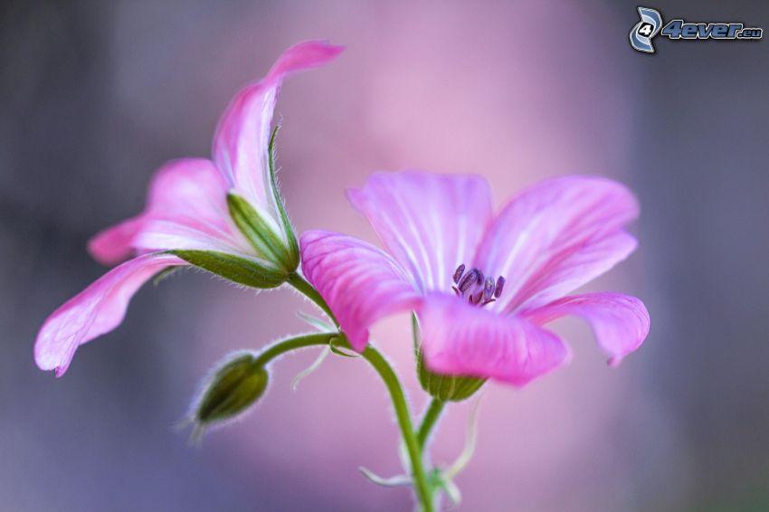 geranium, pink flowers