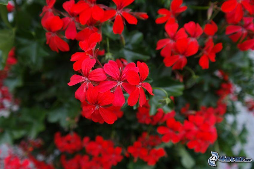 geranium, red flowers