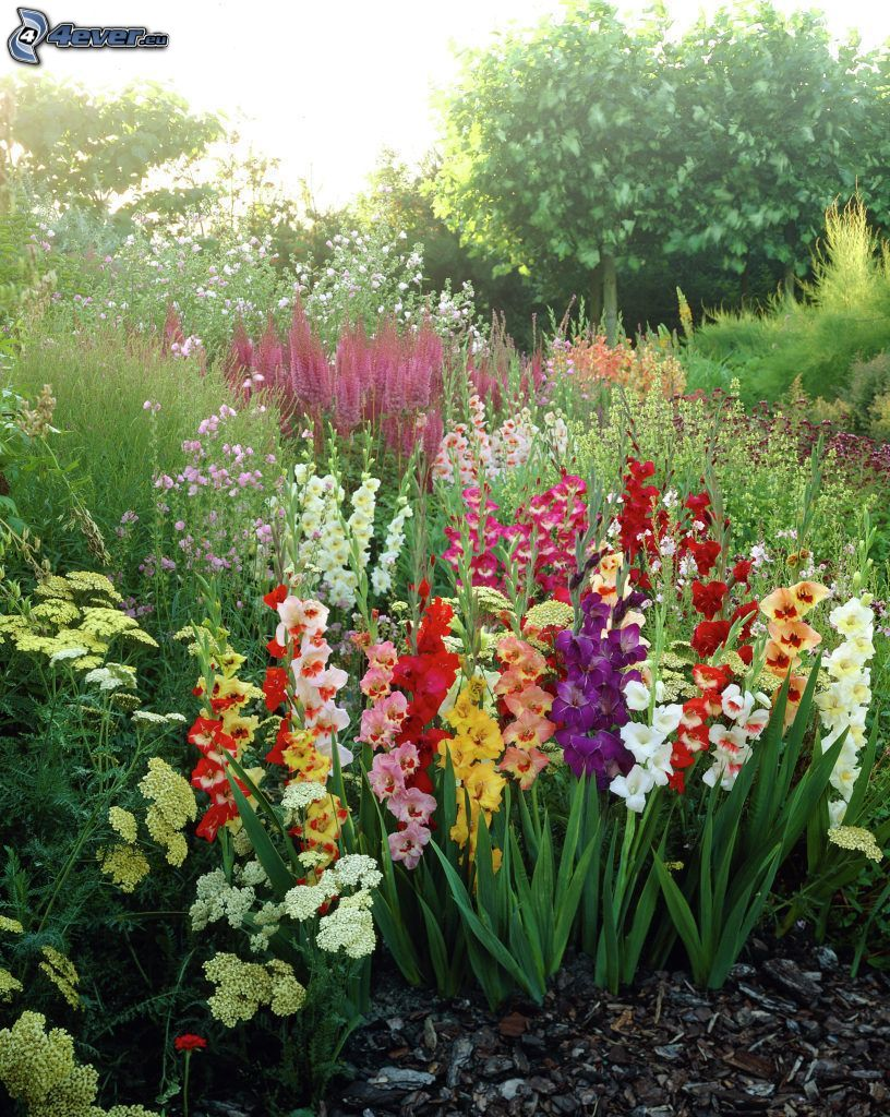 gladiolus, colored flowers, greenery