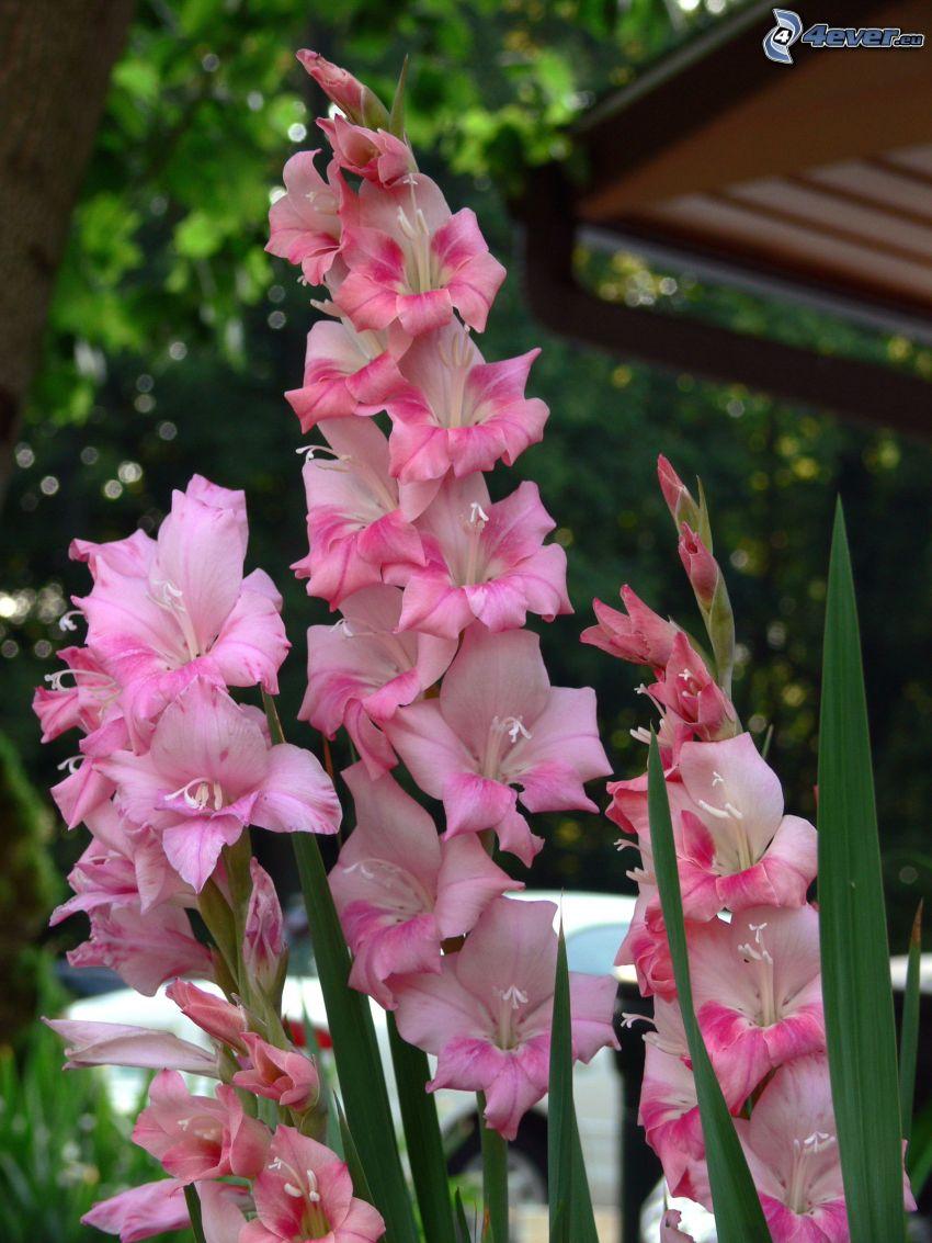 gladiolus, pink flowers