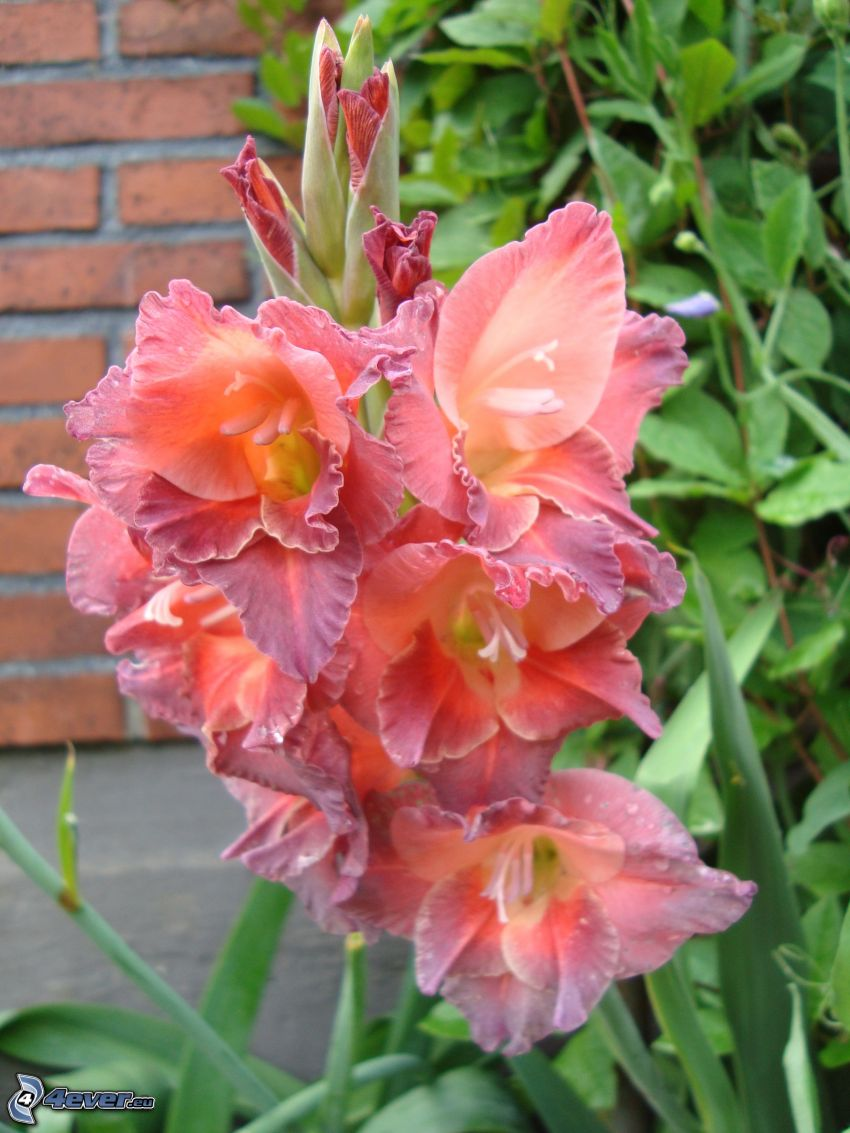 gladiolus, red flowers