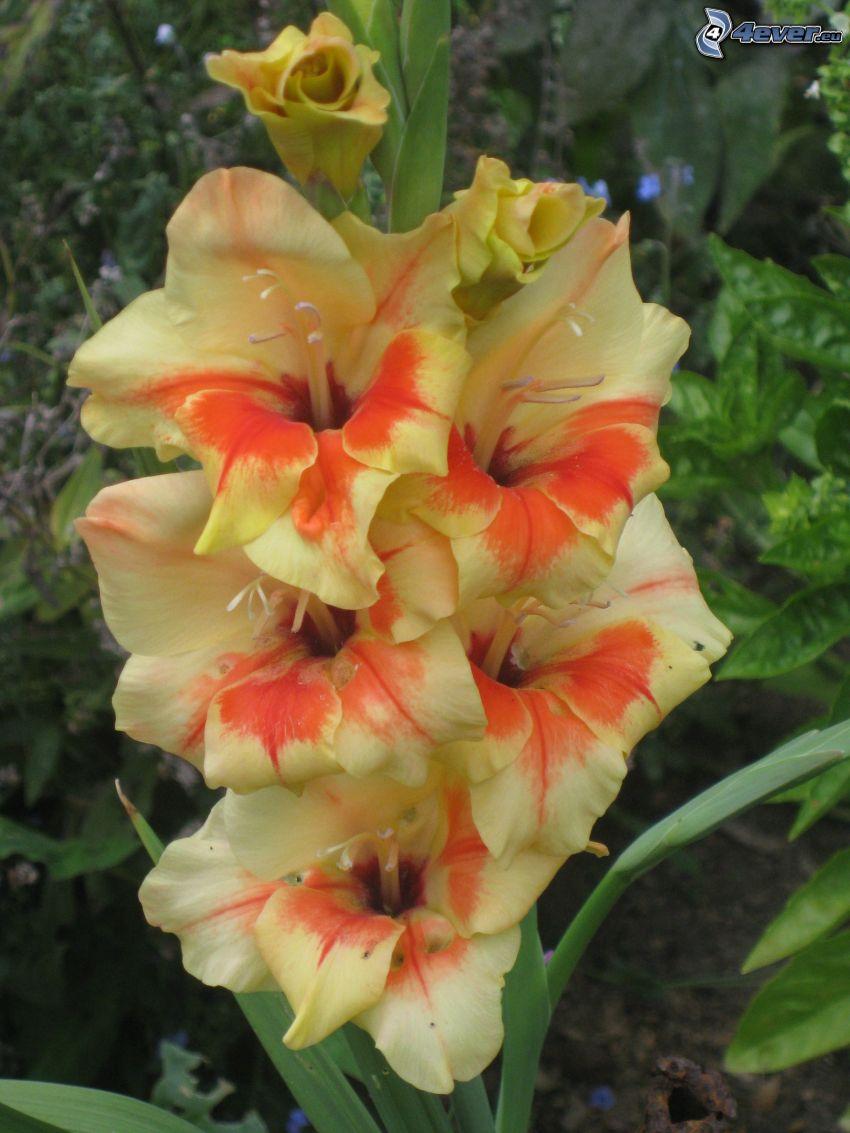 gladiolus, yellow flowers
