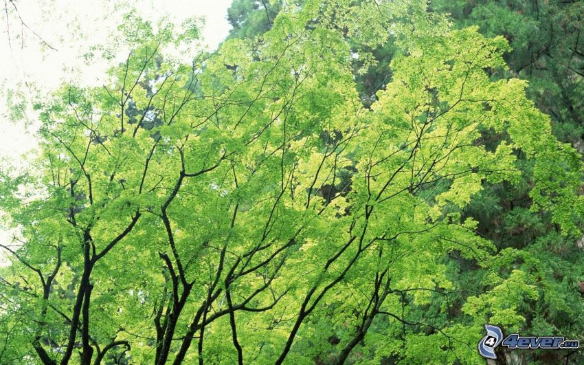 green trees, branches