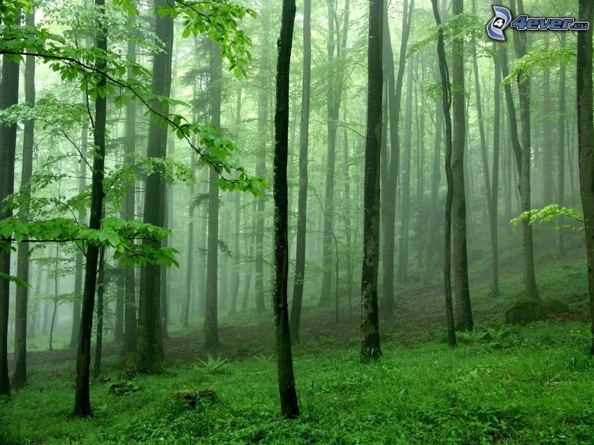 green trees, forest, mountain, logs, fog