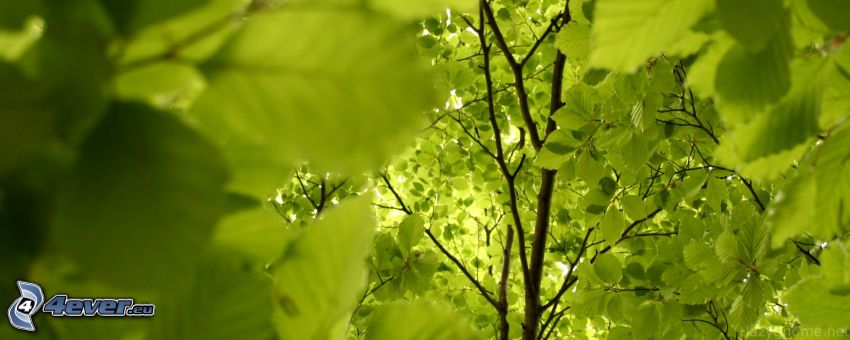 green trees, leaves