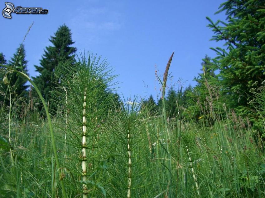 horsetail, greenery