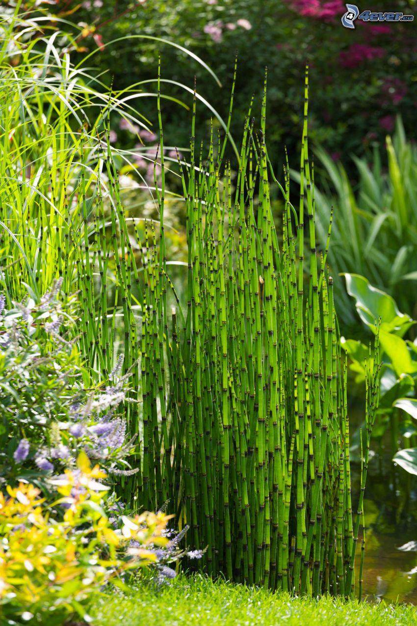 horsetail, yellow flowers, purple flowers